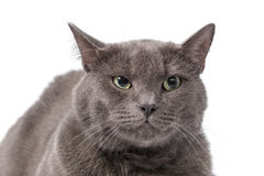 Young adult british shorthair cat with green eyes Royalty Free Stock Photography