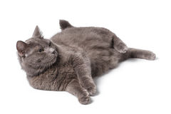 Young adult british shorthair cat with green eyes Royalty Free Stock Images