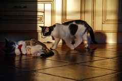Young and adult cat during play royalty free stock image