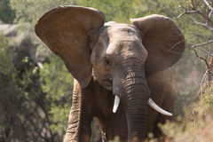 Young adult elephant Stock Photography