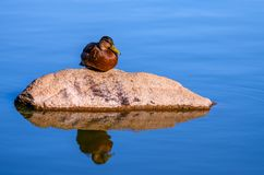 Young adult female Mallard duck Anas platyrhynchos sitting on a rock royalty free stock photo