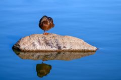 Young adult female Mallard duck Anas platyrhynchos standing on a rock one foot stock image