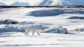 Young adult female polar bear walks across the snow and ice of Svalbard. A Norwegian archipelago between mainland Norway and the North Pole royalty free stock image