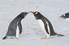 Young and adult gentoo penguins. Royalty Free Stock Photo