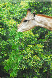 Young adult giraffe eating leaves Royalty Free Stock Image