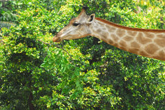 Young adult giraffe eating leaves Royalty Free Stock Images