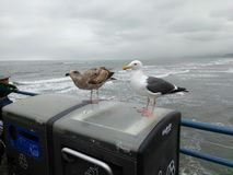 Young adult gull. Young and adult gull on garbage can Stock Image