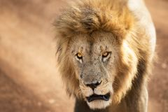 Young adult lion in the Masai Mara. Closeup front on portrait of the face with the lion looking directly at the camera Royalty Free Stock Images