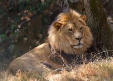 Young adult male lion laying on dry grass in shade of trees. Young adult male lion laying on dry parched brown grass in the shade of trees looking off to viewers royalty free stock photo