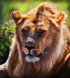 Young adult male lion portrait. Safari in Serengeti, Tanzania, Africa stock photos