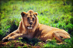 Young adult male lion on savanna. Safari in Serengeti, Tanzania, Africa. Young adult male lion lying on savanna in grass. Safari in Serengeti, Tanzania, Africa Stock Photos