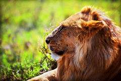 Young adult male lion on savanna. Safari in Serengeti, Tanzania, Africa. Young adult male lion lying on savanna in grass. Safari in Serengeti, Tanzania, Africa Royalty Free Stock Photo