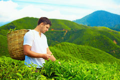 Young adult man harvesting tea leaves on plantation. Man harvesting tea leaves on plantation Stock Photography
