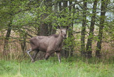 A young adult moose in forest Stock Photography