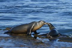 Young and adult sea lion having a moment at the seashore.  Stock Images