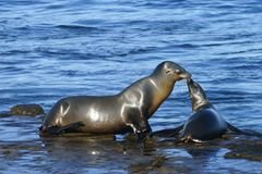 Young and adult sea lion having a moment at the seashore.  Royalty Free Stock Images