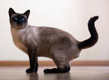 Young adult siamese cat Stock Photos