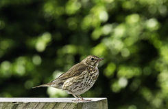 Young adult of song thrush. Portrait of a young adult of a song thrush with red leftovers of berries on beak and feet. The bokeh background is of green leaves royalty free stock photo