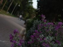 Young adult teen couple walking away from camera on green park paved alley at sunset with trees lined up and purple flower bush stock photography