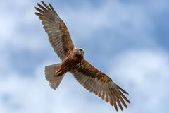 Free Young Adult Western Marsh Harrier Female In Flight Against The Clouds. Hawk, Falcons, Raptors, Birds, Circus Aeroginosus Stock Photos - 186884163