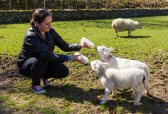 Young adult woman feeding two newborn lambs from bottles Royalty Free Stock Photo