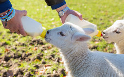 Young adult woman feeding two newborn lambs from bottles Stock Photo