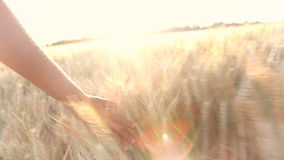 Young adult woman female girls hand feeling the top of a field of barley crop at sunset or sunrise stock video