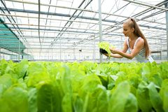 Young adult woman gardening in a greenhouse Royalty Free Stock Photo