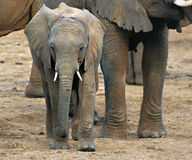 Young Africa Elephant, Kenya. Young, baby  elephant walks with its herd in Samburu National Park, Kenya, Africa, with the blowing dust on its rough, thick Royalty Free Stock Photo