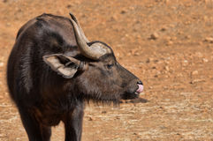 Young African Buffalo Royalty Free Stock Photo