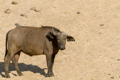 Young African Buffalo Stock Photography