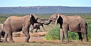Young African Bull Elephant Sparring. From an early age elephant bulls develope a 'pecking order' which lasts throughout their lives. These two young bulls Royalty Free Stock Images