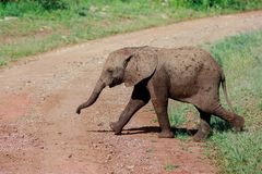A young African Bush Elephant calf crossing the road. In the Serengeti National Park. The African bush elephant Loxodonta africana, also known as the African stock images