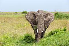 Young African bush elephant Royalty Free Stock Photo