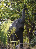 Young African bush elephant. (Loxodonta africana) in South Africa Royalty Free Stock Photo
