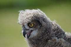 Young African Eagle Owl Stock Images