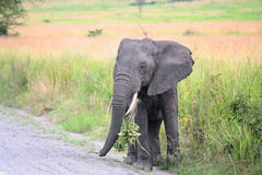 Young African elephant Stock Image