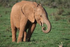 Young African Elephant Royalty Free Stock Photo