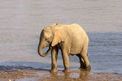 Young african elephant Stock Images