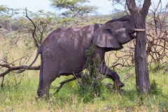 Young African Elephant Attempting To Push Acacia Tree Over Stock Photos