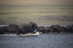 Young African elephant bull chasing buffaloes Stock Photos
