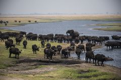 Young African elephant bull chasing buffaloes Stock Images