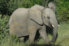 Young African Elephant bull Royalty Free Stock Photo