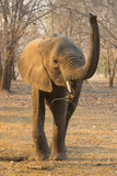 Young African Elephant bull (Loxodonta africana). With his trunk up Royalty Free Stock Image