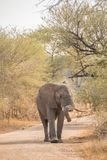 Young African elephant bull walking on dirt road. Facing camera with it`s trunk over it`s tusk, full length portrait Stock Image
