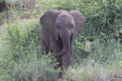 Young African elephant Royalty Free Stock Images
