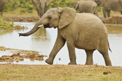Young African elephant climbing out of a water hole Royalty Free Stock Photography