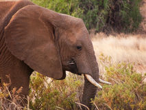 Young african elephant eating grass in the wild Stock Photo