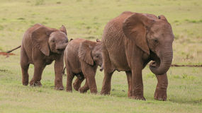 Young African Elephant Friends Royalty Free Stock Photo