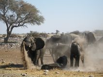 Young african elephant herd talking a sand bath. An elephant herd is taking a dust bath. Young elephants are lying on the ground while others are thoughing sand Stock Image